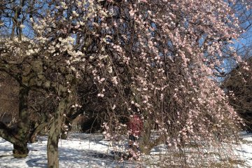 <p>Plum tree blossoms after snowing.</p>