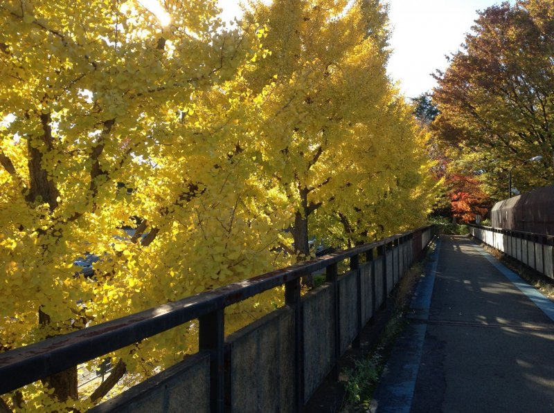 <p>Ginkgo side of cycling course turning yellow in Autumn.</p>