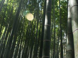 Bambu yang berjejer acak