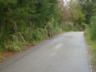 Kerama deer wander where they like