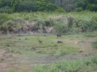 More Kerama deer