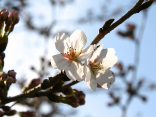 A couple of sakura blooms and more on the way at the Imperial Palace.