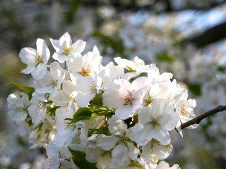 باقة لطيفة من أزهار الساكورا في القصر الإمبراطوري.