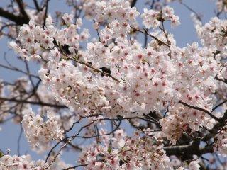 شجرة ساكورا صغيرة ولطيفة في معبد زنكو جي الصغير قبالة أوياما دوري.