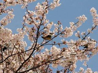 A bird perched in this sakura tree