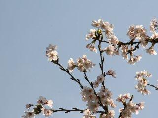 أزهار الساكورا اللطيفة تحت السماء المشرقة الزرقاء في القصر الإمبراطوري.