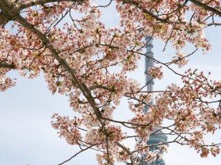 أزهار الساكورا في أساكوسا مع برج سكاي تري طوكيو في الخلف.