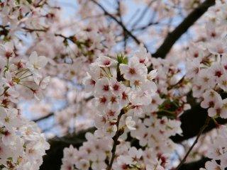 Sakura flowers in Asakusa.