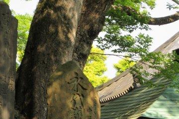 В храмах часто растут очень старые деревья