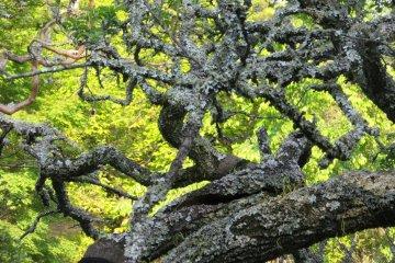 Стволы деревьев в садах формируют искусственно