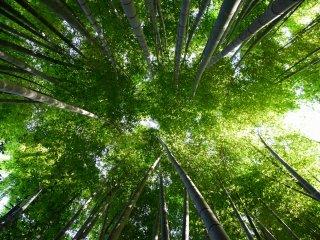 Pohon bambu yang tinggi