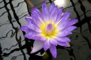 Очаровательные водяные лилии