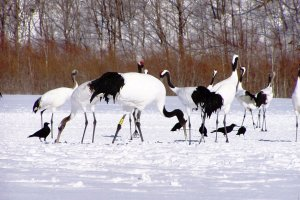 Lake Furen, Nemuro City, is where you can get up close with Red-crowned Cranes.