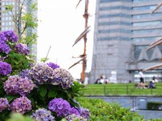 Hydrangeas in the park
