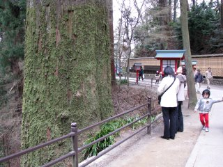 Many trees at Takaosan are really old and huge!