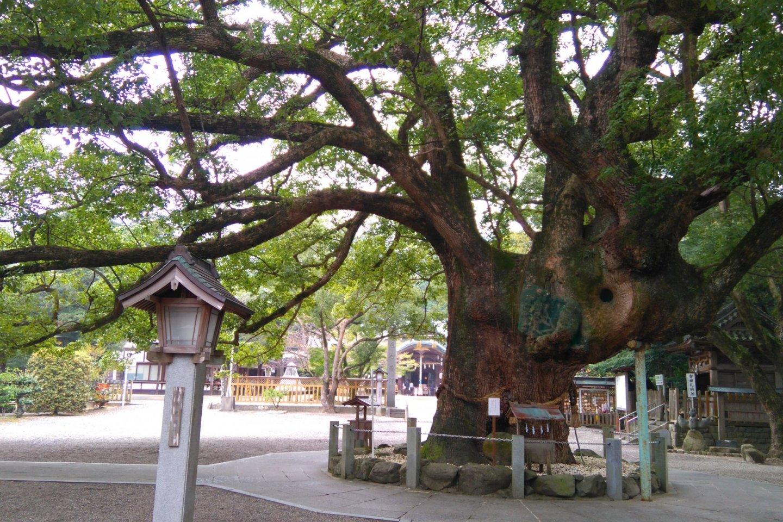 Grand old tree of Oasahiko