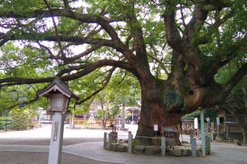 A Tree Grows in Oasahiko Shrine