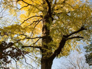 Ginkgo tree in all its glory