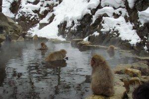 Family of bathing monkeys