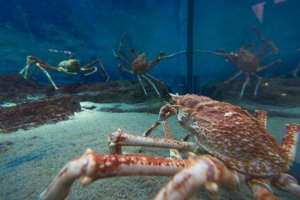Large crabs hanging out in their tank