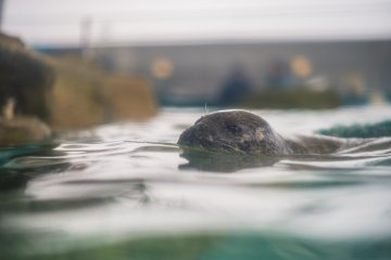 One of the seals peeking its head above the water