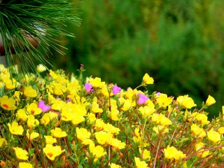 Yellow flowers contrast with pine needles