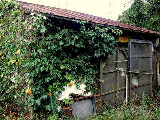 Ivy scrambling over an old shed