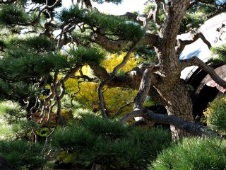 Yellow leaves through pine branches