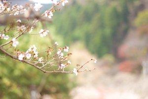 A special type of sakura that blooms in October in winter temperatures