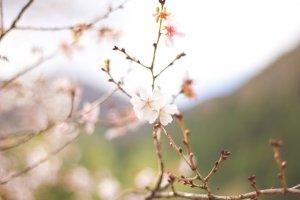 Just as beautiful as the sakura that bloom in spring