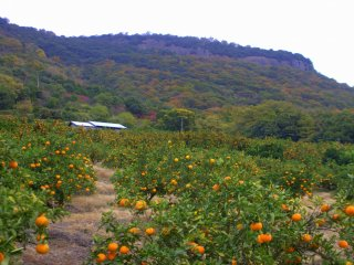 A field of mikan trees at the base of Yashima near the parking spots