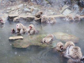 Monyet-monyet yang hidup di alam liar
