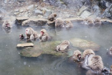 Jigokudani Monkey Park, where wild monkeys bath in a natural hot spring