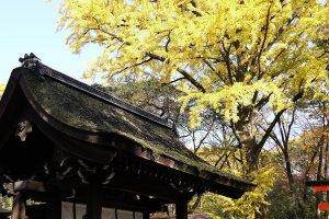 ต้นกิงโกะสีสันสดใสตรงประตูศาลเจ้า