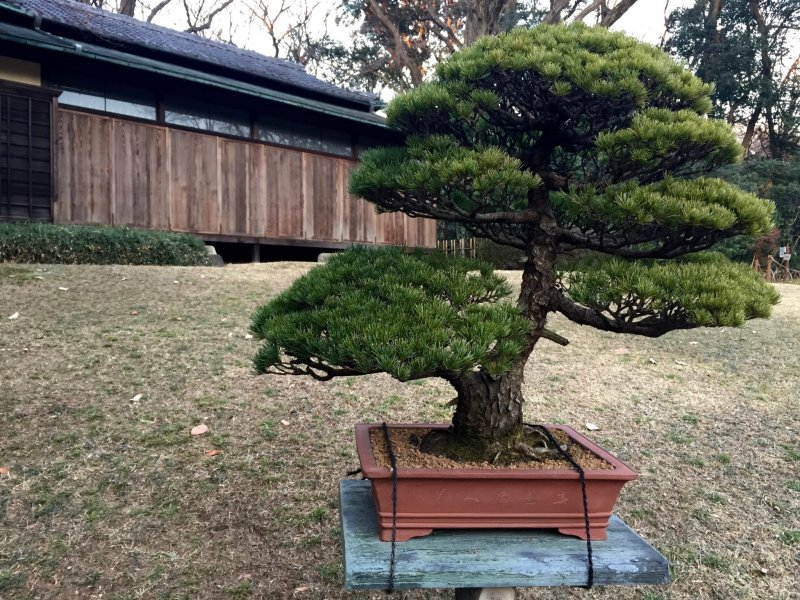 Bonsai exhibition near the Kakuuntei teahouse