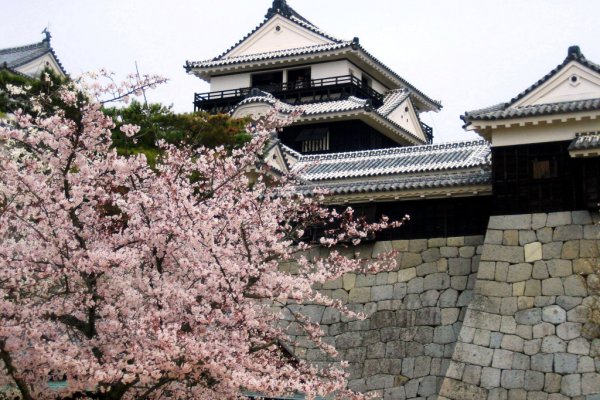Cherry blossoms at Matsuyama Castle