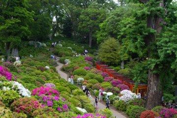 เทศกาลดอกอะเซลเลียแห่งบุงเกียว