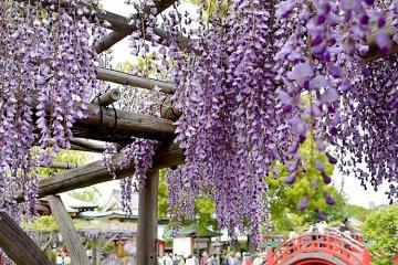 เทศกาลดอกวิสทีเรีย คะเมะอิโดะ เท็นจิน