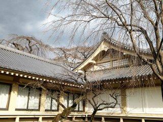 ความงามที่ไร้ใบของต้นซากุระ