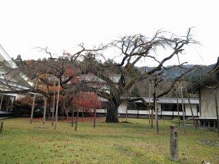 ต้นซากุระเรืองชื่อ แม้ในฤดูใบไม้ร่วงก็ยังดูสวย..สวยแบบไร้ใบ..