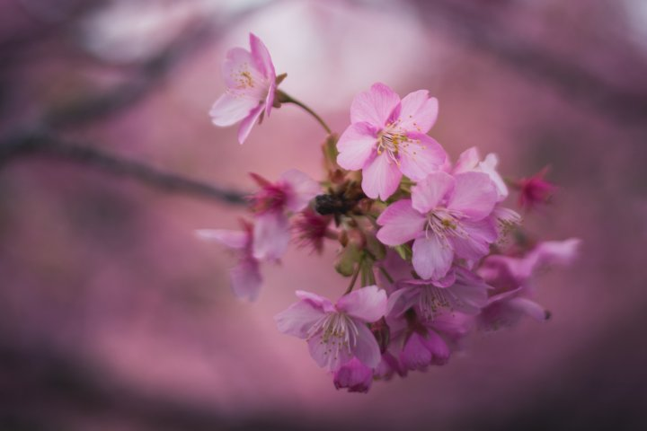 Cherry Blossom Photo Tour in Tokyo