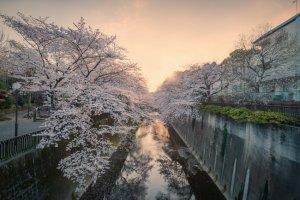 Ảnh hoa anh đào nở rộ ở Tokyo