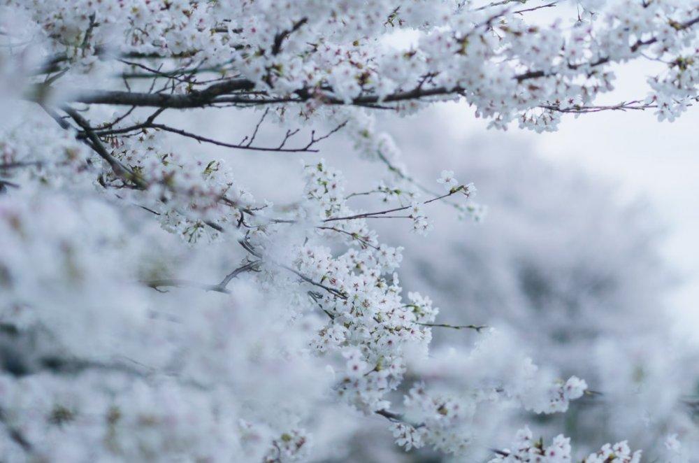 กลีบดอกไม้อันบอบบางดูราวกับว่าได้ลอยล่องอยู่ท่ามกลางต้นไม้