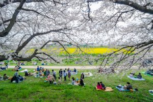 There is nothing better than a spring picnic beneath the sakura