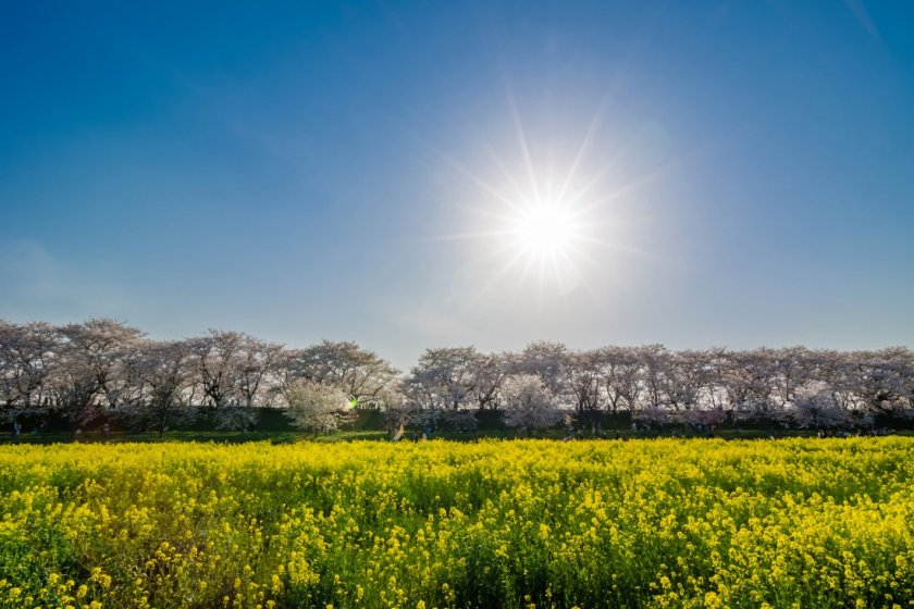 The sun shines over rapeseed blossoms and sakura at the Satte Cherry Blossom Festival