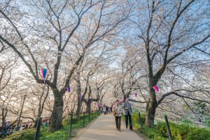 The main path through the middle of the blossoming trees is stunning