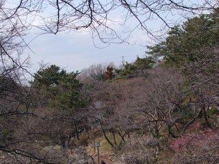 Ratusan pohon plum memenuhi taman