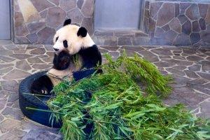 Một trong những chú gấu trúc nổi tiếng ở vườn thú Kobe Oji