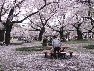 Cuối mùa Hanami trông như tuyết