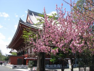 Sakura in Asakusa, Tokyo